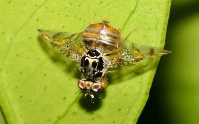 Середземноморська плодова муха (Ceratitis capitata Wied)