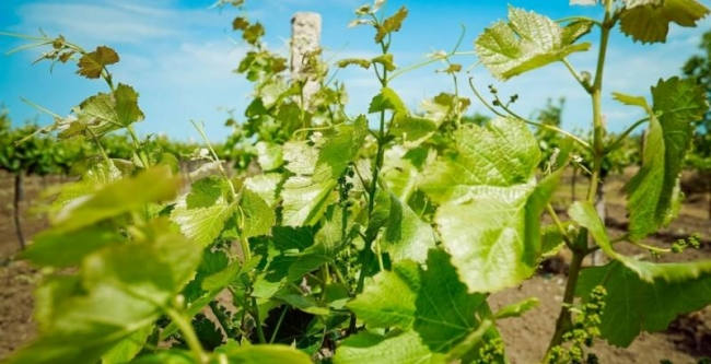 Ученые рассказали, что будет с винодельческой отраслью в Украине