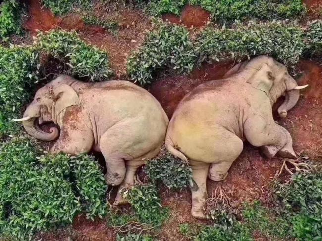 Пока все на карантине: в Китае слоны забрели в деревню и выпили все вино