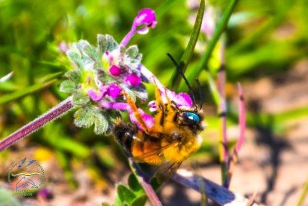 Дикие пчёлы на Тузловских лиманах сохраняют экосистему, опыляя сады