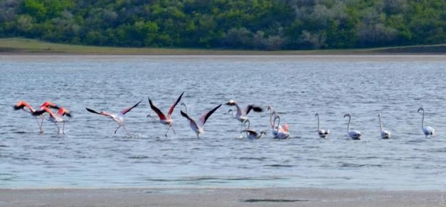 В Одесскую область из Африки прилетела целая стая розовых фламинго