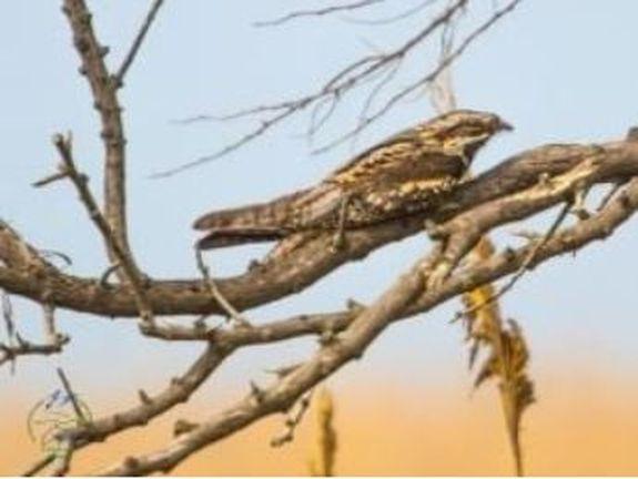 Через Тузловские лиманы пролетают редкие птицы
