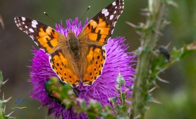 На юге Одесской области замечен исчезающий вид бабочек
