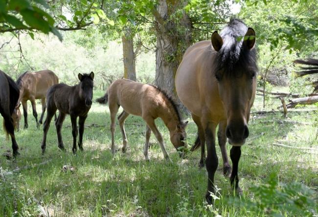 У реликтовых гуцульских коников, которых поселили на дунайском острове, появилось пополнение