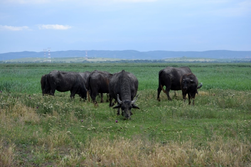 В Ренийском районе пересох экопарк «Картал», зато пополнилось стадо водяных буйволов
