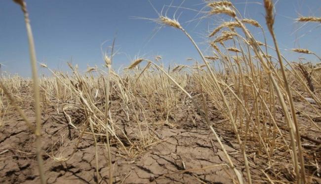 Из-за засухи погибло 3/4 урожая в Болградском районе