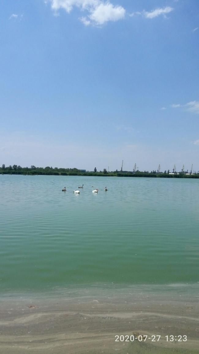 На Лебяжьем озере поселились лебеди