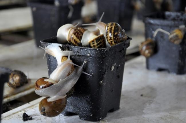 Голубцы из улитки и икра со вкусом осеннего леса: о выращивании деликатесных моллюсков в Бессарабии