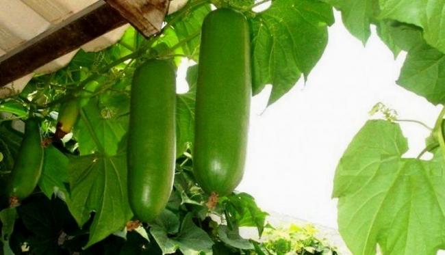 Кроме ежемалины, житель села Шевченково выращивает кассабанану
