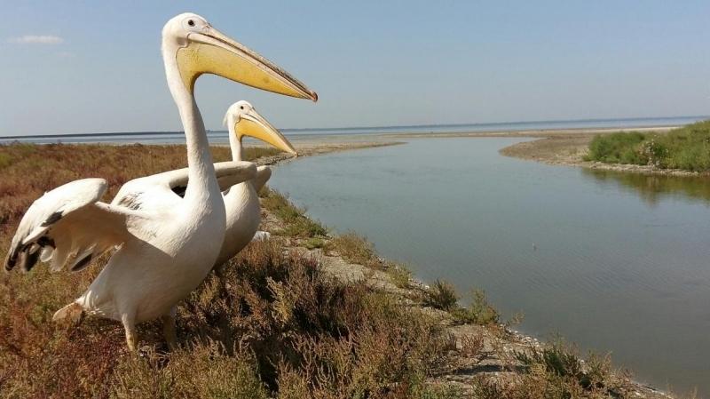 В «Тузловские лиманы» переселили редких пеликанов, живших в ресторане