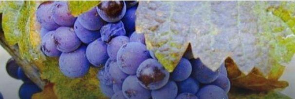 Урожай винограда в Одесской области сократится вдвое из-за засухи