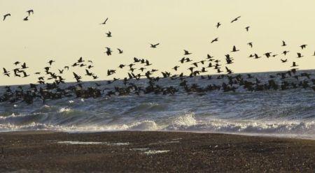 В нацпарке «Тузловские лиманы» зимуют тысячи огромных бакланов