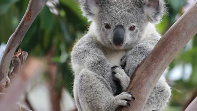 В Австралии коала пробралась в дом и вылезла на новогоднюю ёлку