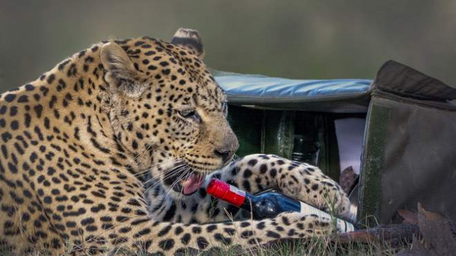 Пикник с хищником: леопард украл бутылку вина и закуски у пары, приехавшей на сафари