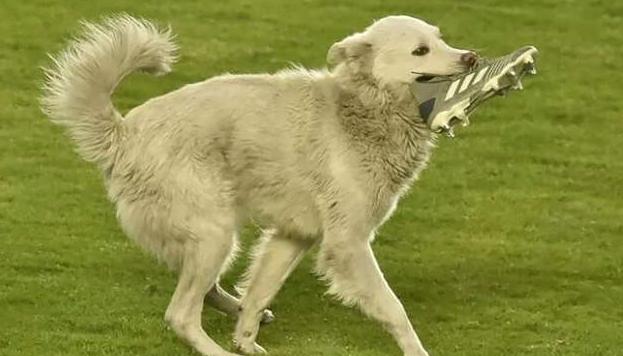 Футбольная Санта-Барбара: собака с бутсой в зубах выбежала на поле и нашла хозяина