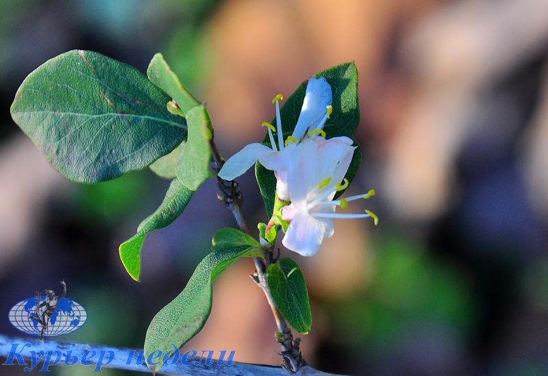 Новогодняя нежность: в Городском саду Измаила распустилась жимолость