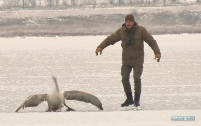 Неравнодушные спасли кудрявого пеликана на берегу Тилигульского лимана