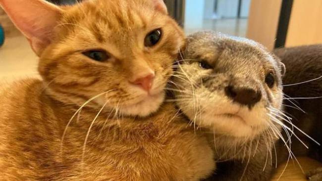 Забавная дружба кота и выдры: они живут вместе и спят в объятиях друг друга