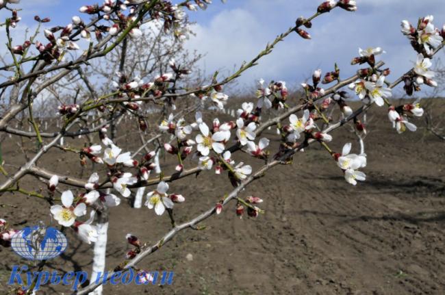 Миндальный орех из Бессарабии – уже реальность