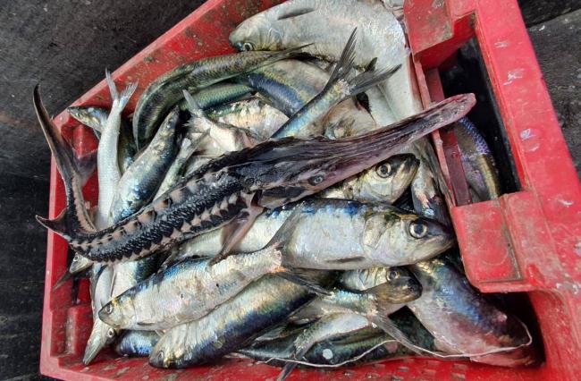 В Чёрном море начала восстанавливаться популяция краснокнижной севрюги