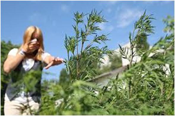 Увага! Амброзія полинолиста – зелений агресор