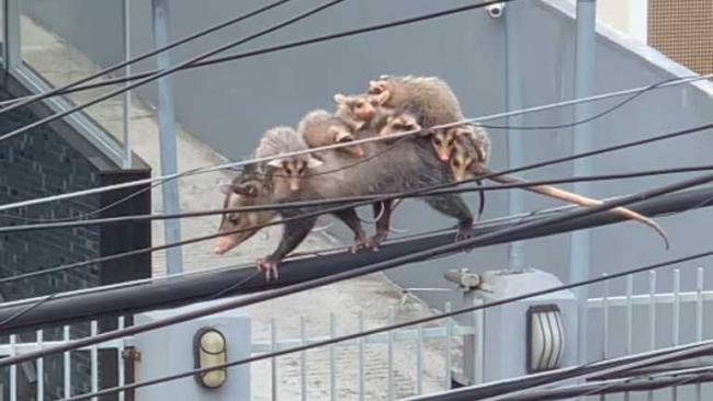 Мама-опоссум перенесла семерых своих малышей на спине, идя по проводу